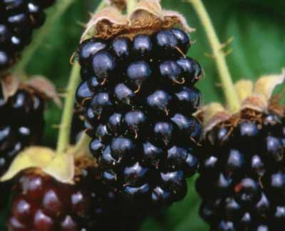 up close photo of a fresh marionberry on a bush