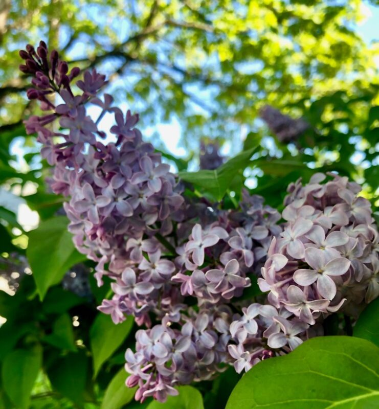 lilac bush with purple lilac flowers blooming