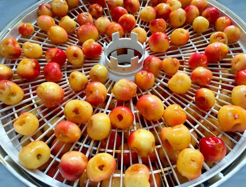 whole rainier cherries in a dehydrator